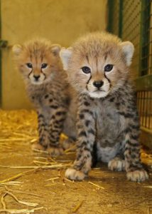 Poppy and Winston - Cheetah Cubs at Longleat