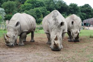 Trio of Female Southern White Rhinos at Longleat Safari Park