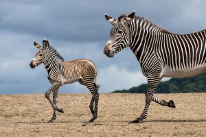 We're delighted to announce the birth of the Park's first ever baby Grévy's zebra!