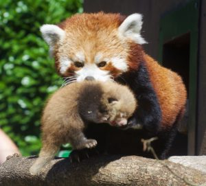 Red Panda Mum Takes Tiny Twin Cub On First Trip Outside