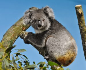 Koalas, Crocs and Giant Otters Join Longleat's Animal Adventure In 2019