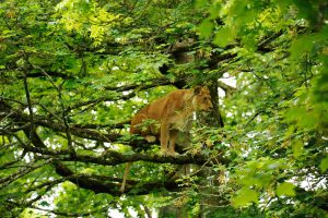 Fearless Lioness Scales 20-Metre Sycamore Tree