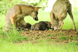 Magnificent Seven Wolf Pups Born at Longleat